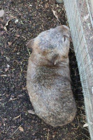Blacktown, Australia: Wombat