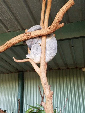 Blacktown, Australien: Sleepy Koala!