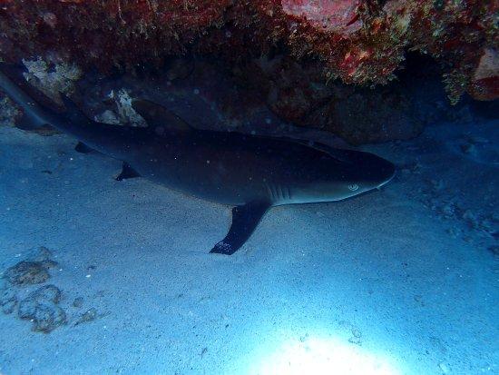 Kadena-cho, Japonya: White Chip Shark - Tubarão Galha Branca
