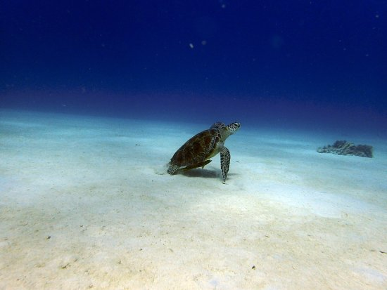 Kadena-cho, Japonya: Turtle - Tartaruga