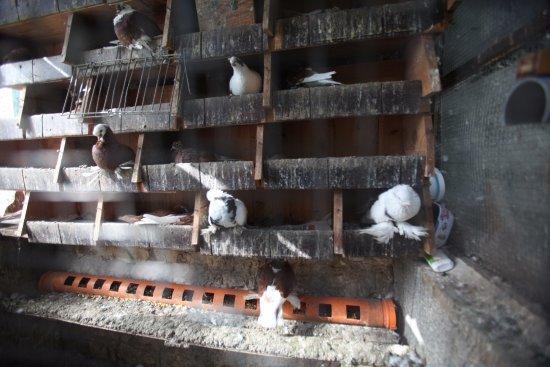 Hotel Nasho Vruho: Pigeons