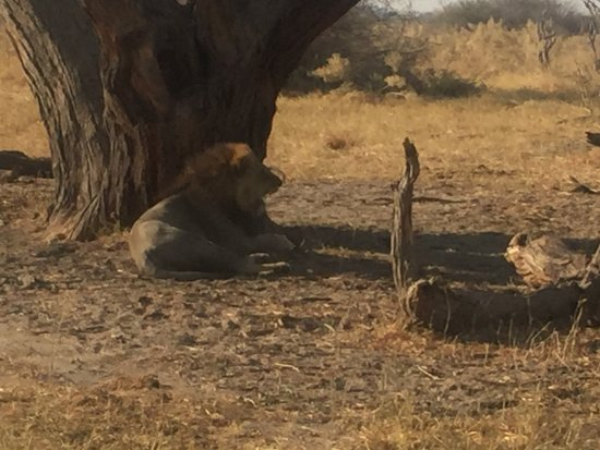 Ghoha Hills Savuti: Male lion in the March Pride of Lions