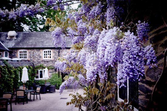 Woodhouse Eaves, UK: Pub garden with the wisteria in full bloom