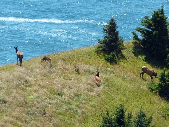 Otis, OR: Herd of Elk in Cascade Head upland meadows