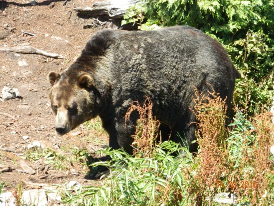 North Vancouver, Canada: grizzly