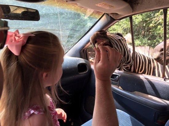 Pine Mountain, Georgien: Feeding the zebras.