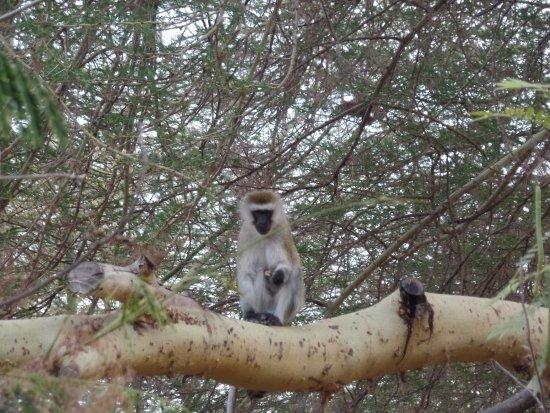 Nsya Lodge & Camp : monkeys in de garden