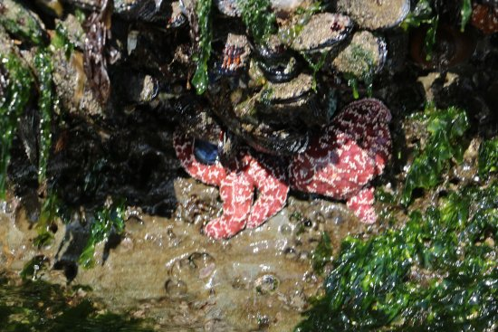Pacific City, OR: starfish in the tidepools