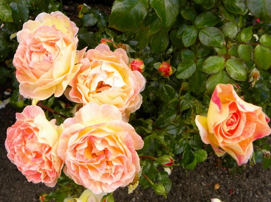 Boolteens, Irlanda: Roses in the garden out front