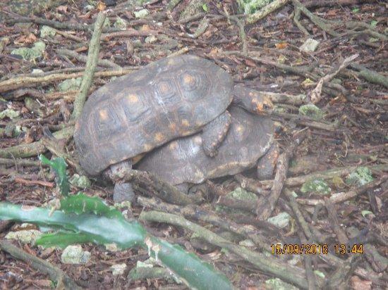 Saint Peter Parish, Barbados: Tortoises playing leap frog