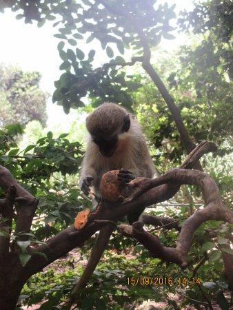 Saint Peter Parish, Barbados: Baby green monkey
