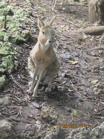 Saint Peter Parish, Barbados: Barbados Hare