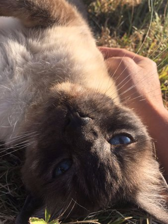 Le Taillan-Medoc, Francja: Classy Berliouse (18 years old Siamese) was playing with us in the meadow