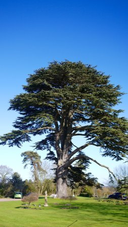 Ross-on-Wye, UK: Cedar Tree