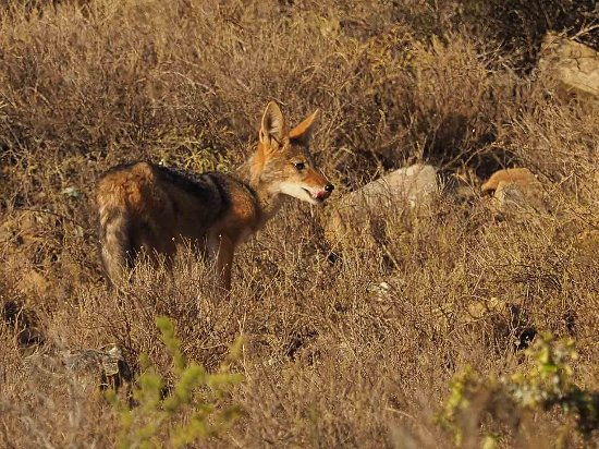 Somerset East, Sydafrika: a black-backed jackal