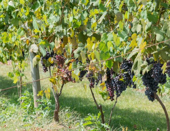 Washington Crossing, بنسيلفانيا: Vineyards