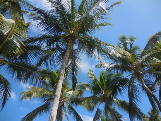 El San Juan Casino: Gorgeous coconut trees
