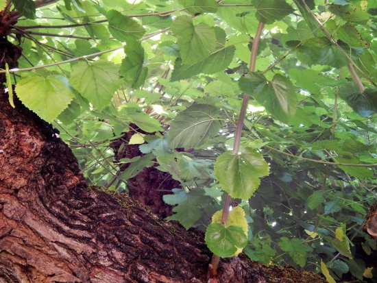 Сежана, Словения: Mulbery tree