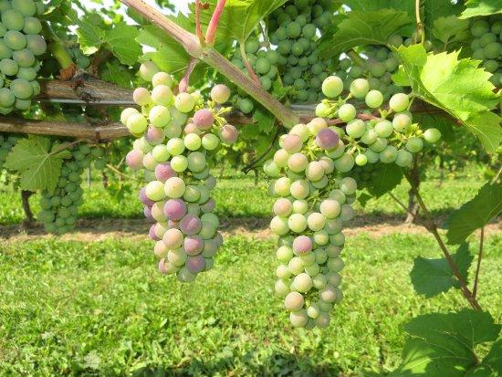 Wolfville, Canada : Grand Pre Grapes