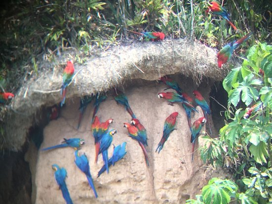Tambopata Research Center: Scarlet, Red and Green and Blue and Yellow macaws. We saw hundreds of macaws and parrots.