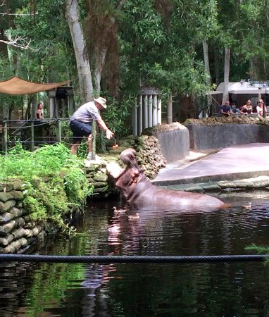 Homosassa Springs hippo feeding