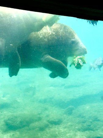 Homosassa Springs underwater manatee viewing