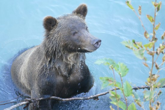 Grizzly bears with Go Wild, Campbell River