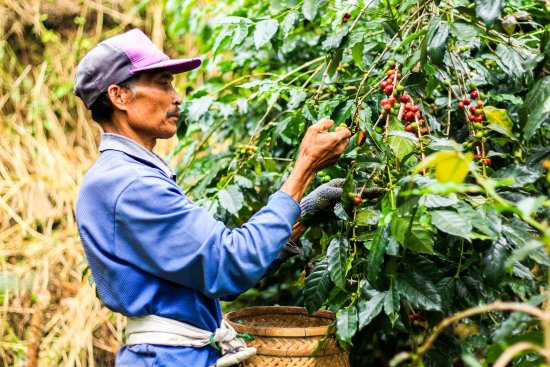Munduk Moding Plantation: Coffee harvest