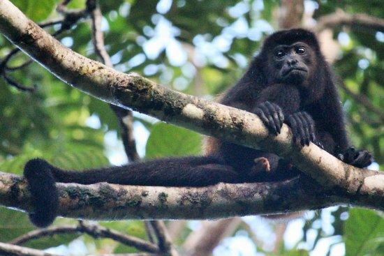 Howler monkey at Pachira Lodge