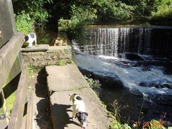 Chorley, UK: Weir & Jack Russels on The Yarrow in September