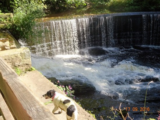 Chorley, UK: Princess, disguised by cow poo, admiring the weir in Yarrow Valley Park.