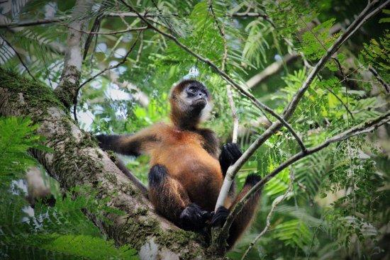Tortuguero, Kosta Rika: Spider Monkey