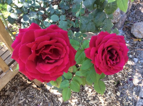 Solvang, Καλιφόρνια: Beautiful roses