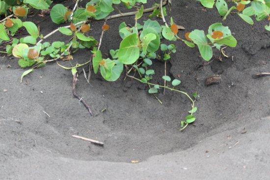 Tortuguero, Kosta Rika: Turtles nest site