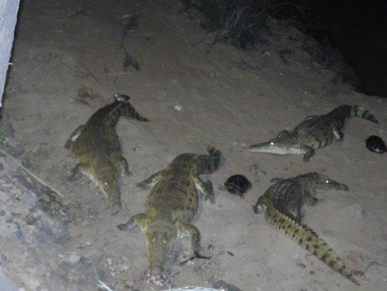 Sarova Shaba Game Lodge: Crocodiles being fed at Night