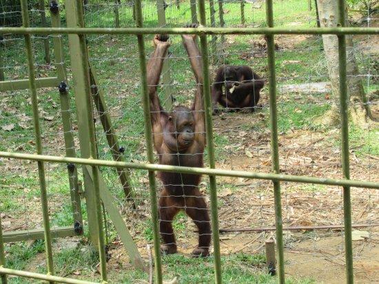 Semanggol, Malesia: 餌をおねだりするオランウータン