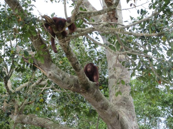 Semanggol, มาเลเซีย: 木の上でじゃれあうオランウータン