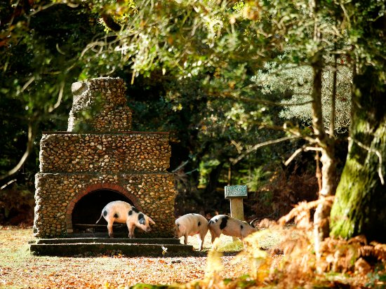 Pannage Pigs in the New Forest
