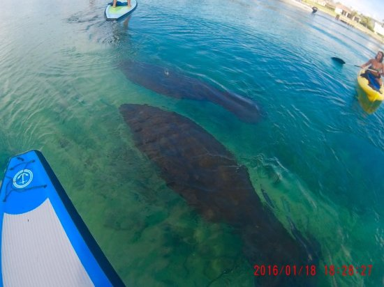 Jupiter, FL: Baby and mom manatee!