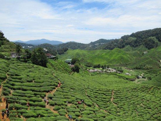 Tanah Rata, มาเลเซีย: お茶飲み場(お店)付近からの茶畑の眺め