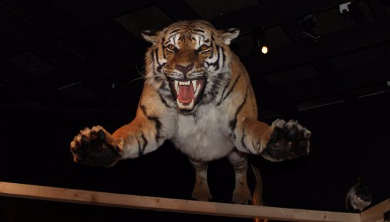 attacking tiger in emotions display area picture of museum d