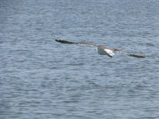 Stone Harbor, NJ: Osprey flying over the water.