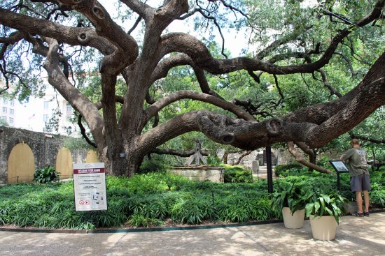 live oak tree at the alamo picture of the alamo san antonio tripadvisor. Black Bedroom Furniture Sets. Home Design Ideas