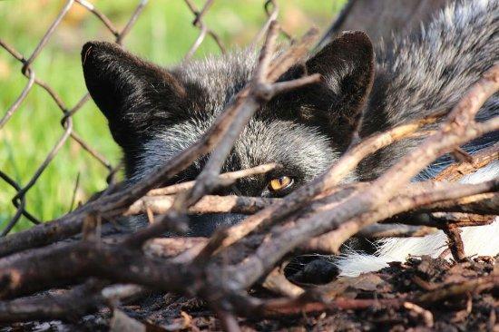 Wendover, Kanada: Sly as a fox!