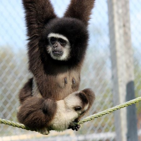 Wendover, Kanada: Our gibbons! Come meet jewels baby, they love attention