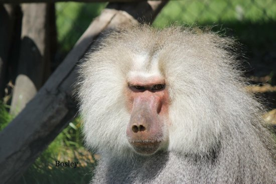 Wendover, Kanada: Bosley is famous here at the zoo! He had aged well and quite proud of it