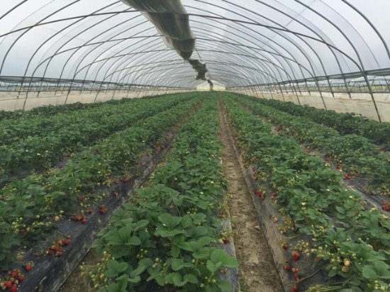 Lishui County, Chiny: strawberry plantation