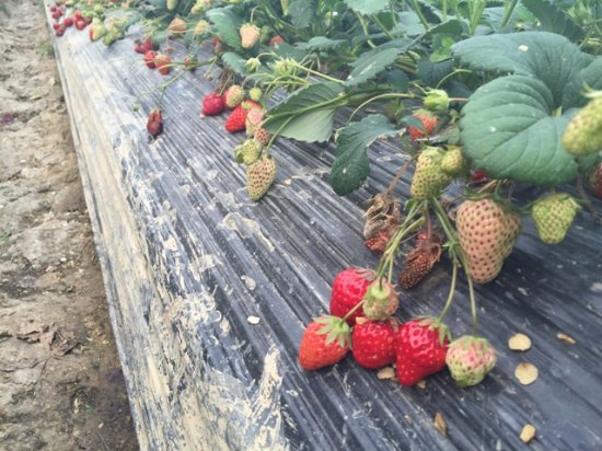 Lishui County, China: strawberries