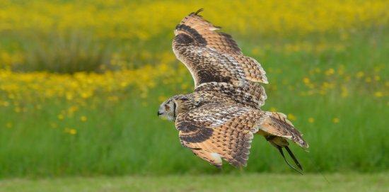 Oswestry, UK: Bengal eagle owl flying