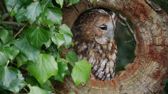 Oswestry, UK: Our lovely Tawny owl on a photo shoot